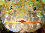 Close up head view of sand diver: Synodus intermedius, St Vincent
