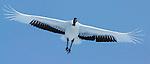 Japanese crane in flight, Hokkaido, Japan