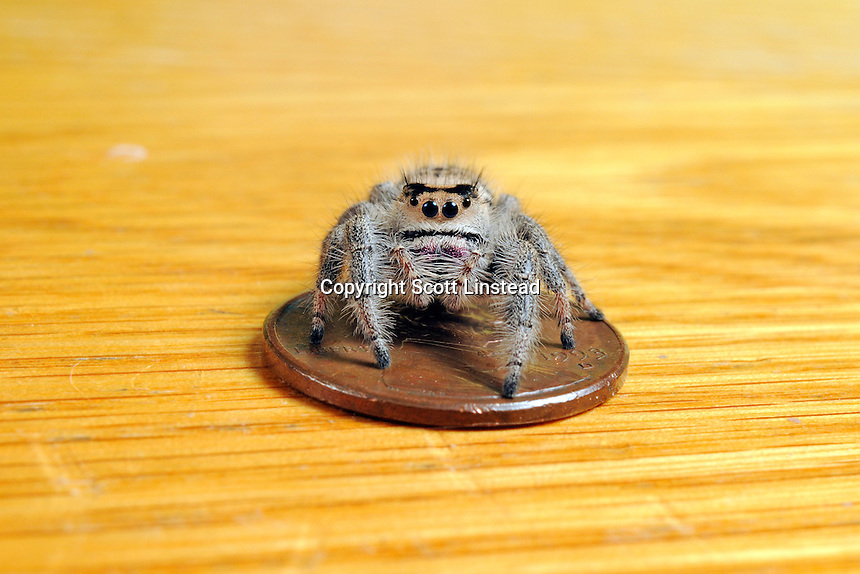 An adult female regal jumping spider standing on a US penny.