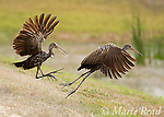 Limpkins (Aramus guarauna) two fighting during a territorial altercation, Viera, Florida, USA