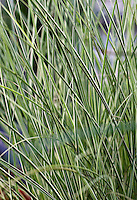 Miscanthus sinensis 'Morning Light' - Morning Light miscanthus grass