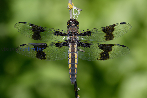 Eight-spotted Skimmer (Libellula forensis) perched on a stem.