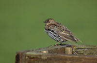 Star, flügger Jungvogel, Sturnus vulgaris, European starling
