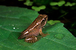 Common Frog, Rana temporaria, froglet with stump tail, on leaf in pond.United Kingdom....