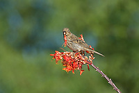 528800252 a wild female house finch podocarpus mexicanus feeds on a flowering ocotillo foqueria splendens plant in southern arizona
