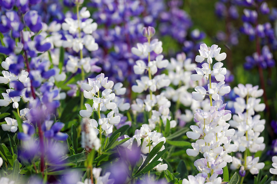 Purple and white lupine in subalpine meadow, Paradise, Mount Rainier National Park, Washington, USA
