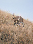 Whitetail buck on a scent trail of a doe