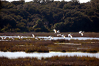 LITTLE ST. SIMONS ISLAND, FL -- October 1, 2010 -- Birds take off over marshlands on Little St. Simons Island on Friday, October 1, 2010.   The 10,000 acres of marshland, beaches, and forests are a refuge for wildlife and vacationers alike with only 32 guests permitted a night.  (Chip Litherland for Bay Magazine)