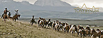 cowboys running horse herd to rodeo in montana, glacier national park back ground, divide mountain