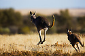 Australia,  NSW, Sturt National Park; red kangaroos (Macropus rufus) hopping away in grassland; the red kangaroo population increased dramatically after the recent rains in the previous 3 years following 8 years of drought