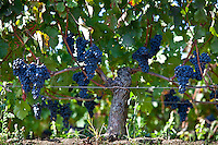 Ripe Merlot grapes to be harvested at Chateau Ausone at St Emilion, Bordeaux region of France