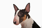 Minature Bull Terrier