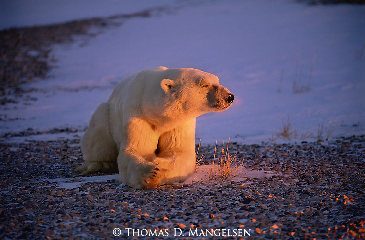 This polar bear's breath can be seen as the frigid yet welcoming morning sun greets the face of one of Hudson Bay's most massive bears.