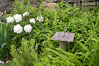 Paeonia white peonies, Sundial with Roman numerals, stone wall