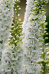 A close-up, detail view of white delphinium stalks in the Sissinghurst-style white garden behind the farmhouse on this property.  The garden also includes white peonies, roses, bleeding heart and garden flox, among others. Garden design by Toni Christianson, Christianson's Nursery