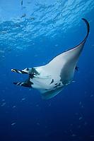 QT2337-D. Manta Ray (Manta birostris). Baja, Mexico, Pacific Ocean.<br /> Photo Copyright &copy; Brandon Cole. All rights reserved worldwide.  www.brandoncole.com