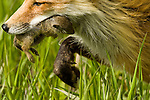 Portrait of mother red fox in a Wyoming meadow, carrying a ground squirrel back to her kits.