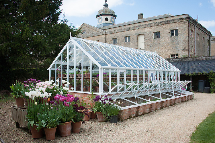 Greenhouse and container-grown tulips, Rousham House and Garden.