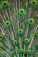 569509016 detailed image of the tail feathers of a blue peafowl or peacock pavo cristatus spread in a breeding display