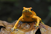Golden Poison Dart Frog (Phyllobates terribilis), Cauca, Colombia