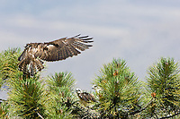 Short-tailed Hawk (Buteo brachyurus) female, flying into nest with prey; Arizona, (Nesting Record)