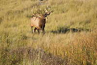 Trophy bull elk bugling during the autumn rut