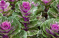 Foliage bedding plant - flowering Kale 'Pigeon' variegated leaves from Takii Seeds