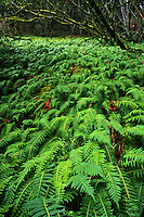 Licorice Fern (Polypodium glycyrrhiza), Columbia River Gorge, Oregon, USA