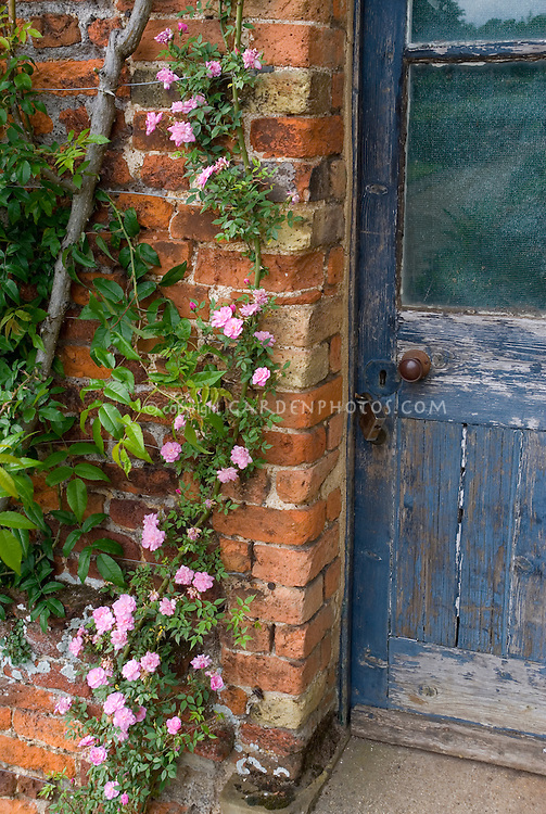 Pink climbing roses on trellis on brick wall next to rustic weathered blue door with lock