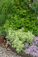 Herb Garden : Parsley, thyme, variegated marjoram, sage