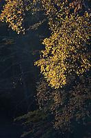 Fall color in Tahquamenon Falls State Park near Newberry Michigan.