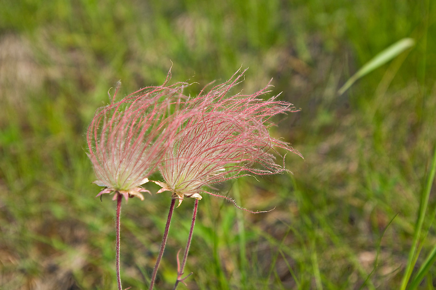 The wildflower prairie smoke (Geum triflorum) blooms on Drummond Island in Michigan's Upper Peninsula.
