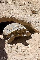 0609-1006  Desert Tortoise Emerging from Burrow to Forage for Food (Mojave Desert), Gopherus agassizii  © David Kuhn/Dwight Kuhn Photography