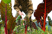 John Healey harvests Swiss chard on Oct. 17, 2008, at Green Edge Gardens, an organic farm in Amesville, Ohio, owned by Kip and Becky Rondy. Workers on the farm spend three to four hours per day hand picking many varieties of lettuce, greens, and herbs, averaging up to 200 lbs. total per week..