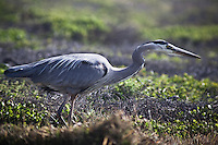 Its identifying S-shaped neck is evident while this Great Blue Heron stalks its prey.