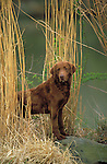 Chessapeake Bay Retriever<br /> <br /> Briard<br /> <br />  Shopping cart has 3 Tabs:<br /> <br /> 1) Rights-Managed downloads for Commercial Use<br /> <br /> 2) Print sizes from wallet to 20x30<br /> <br /> 3) Merchandise items like T-shirts and refrigerator magnets