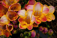 Freesia Flower Closeup