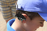Spicebush swallowtail butterfly on boy's ear at the Living Desert