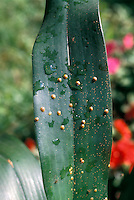 Scale insect pests on Cattleya orchid leaf, with ants and honeydew sap