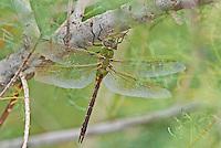 339430027 a wild female common green darner dragonfly anax junius perches on a tree limb in pintail slough on lake havasu national wildlife refuge arizona