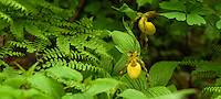 Greater Yellow Lady's-slipper (Cypripedium parviflorum var. pubescens) orchid flower. Also known as a moccasin flower.
