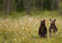 Brown Bear (Ursos arctos), cubs standing on their back legs, Finland, July 2012