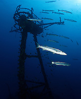 """pk10186-D. Great Barracuda (Sphyraena barracuda) congregate around the radar tower of the USCG cutter """"Duane"""", a 327-foot long shipwreck and stunning artificial reef in the Florida Keys. Florida, USA, Atlantic Ocean..Photo Copyright © Brandon Cole. All rights reserved worldwide.  www.brandoncole.com..This photo is NOT free. It is NOT in the public domain. This photo is a Copyrighted Work, registered with the US Copyright Office. .Rights to reproduction of photograph granted only upon payment in full of agreed upon licensing fee. Any use of this photo prior to such payment is an infringement of copyright and punishable by fines up to  $150,000 USD...Brandon Cole.MARINE PHOTOGRAPHY.http://www.brandoncole.com.email: brandoncole@msn.com.4917 N. Boeing Rd..Spokane Valley, WA  99206  USA.tel: 509-535-3489"""