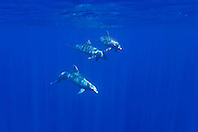 wild bottlenose dolphins, Tursiops truncatus, off Kona Coast, Big Island, Hawaii, Pacific Ocean.