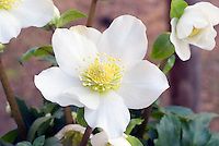 Helleborus Josef Lemper hellebore flowers