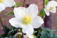 Helleborus Josef Lemper hellebore flowers