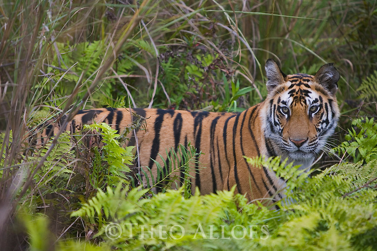 Bandhavgarh National Park, India; 17 months old Bengal tiger cub in green meadow with tall grass and ferns, dry season