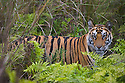 17 months old Bengal tiger cub in green meadow with tall grass and ferns, dry season