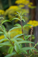 lemon verbena, Aloysia triphylla, herb in organic vegetable garden