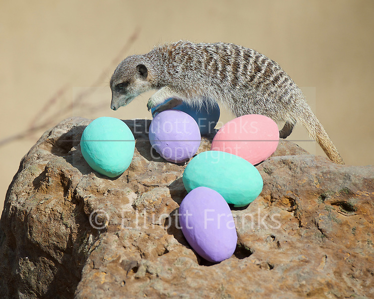 Meerkats' Easter surprise <br /> Animals enjoy egg-citing Easter hunt at ZSL London Zoo, Regent's Park, London, Great Britain <br /> 13th April 2017 <br /> <br />  <br /> Zookeepers have shelled out on an egg-stravagant surprise for ZSL London Zoo&rsquo;s meerkat mob to enjoy &ndash; as they get ready to celebrate the Easter weekend.<br /> .<br />  <br /> Zookeeper Veronica Heldt, said: &ldquo;While there will be no chocolate for our inquisitive meerkats, we&rsquo;ve prepared an Easter egg hunt for the clan.<br />  <br /> &ldquo;This will encourage them to seek out treats hidden in the foliage and forage for food, mimicking how they would seek their food in the wild.<br /> <br /> <br /> Photograph by Elliott Franks <br /> Image licensed to Elliott Franks Photography Services
